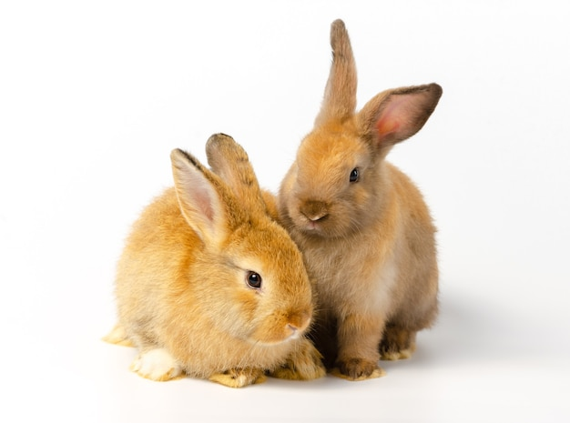 Two cute brown rabbits with different actions sitting on white rabbit. lovely action of adorable baby rabbit