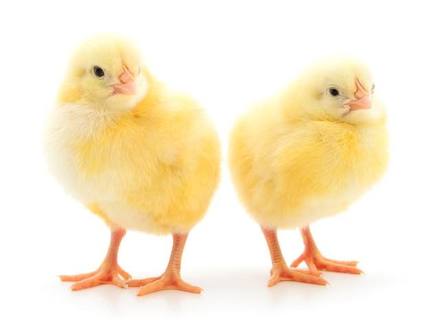 Две милые цыплята, изолированные на белом фоне.