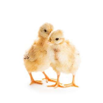 Две милые цыплята, изолированные на белом. концепция сплетен