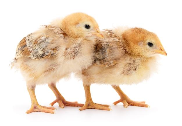 Две милые цыплята, изолированные на белом фоне