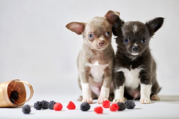 Два милых щенка собаки чихуахуа