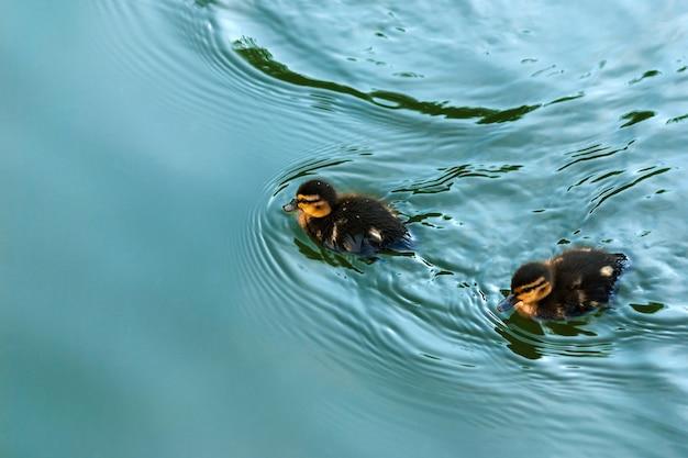 池で泳いでいる2匹のかわいいアヒルの子、クローズアップ