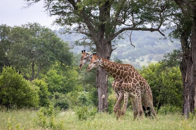 광야에서 푸른 나무 사이를 걷는 두 귀여운 기린