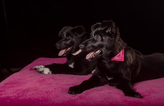 Две милые маленькие черные щенки лежат на мягком розовом покрывале на черном фоне