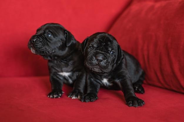 イタリアのカネコルソ犬種の2匹のかわいい小さな黒い子犬。赤い背景