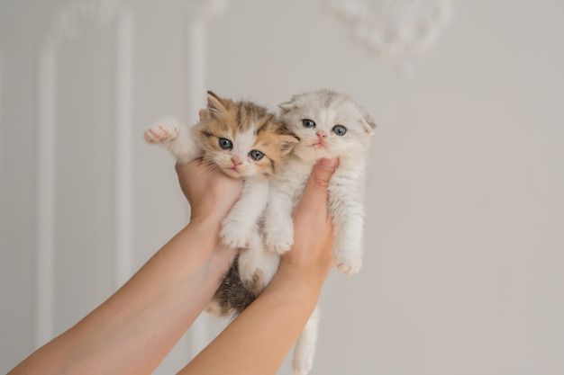 Two cute little fold british british kittens in the arms of a man on a white background