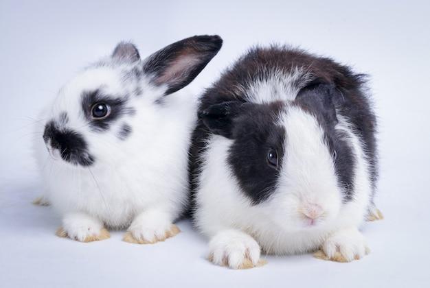黒と白の色の2つのかわいいウサギ