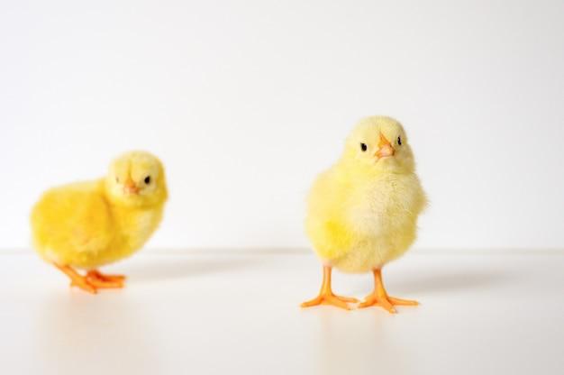 白い表面に2つのかわいい小さな新生児の黄色い赤ちゃんのひよこ