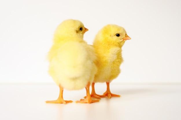 白の2つのかわいい小さな新生児黄色の赤ちゃんのひよこ