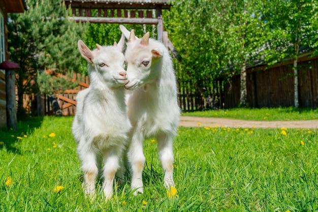 두 개의 귀여운 작은 흰색 염소. 농장에서 여름 애완 동물입니다.