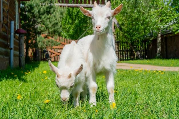 2つのかわいい小さな白いヤギ。農場の夏のペット。