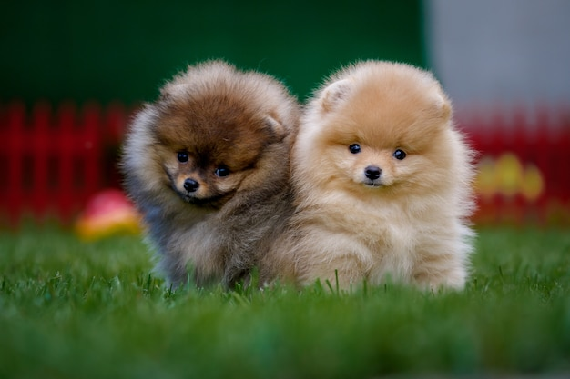 Two cute pomeranians puppies are sitting on a green lawn.