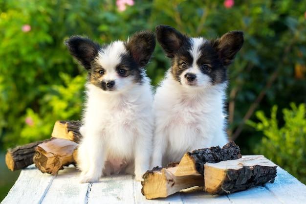 Два милых щенка породы париллон
