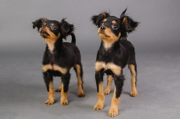 회색 배경에 두 귀여운 강아지 러시아 장난감 테리어. -이미지