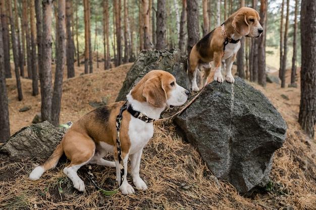 가을 날에 놀면서 숲의 큰 돌에 서있는 고리와 가죽 끈이있는 두 개의 귀여운 순종 강아지