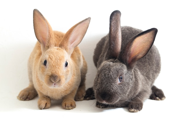 Two cute red brown and gray rex rabbits on white background