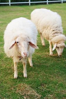 Two cute sheep in field