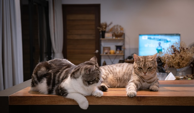 Two cute tabby cats sit on wooden counter in living room in night time