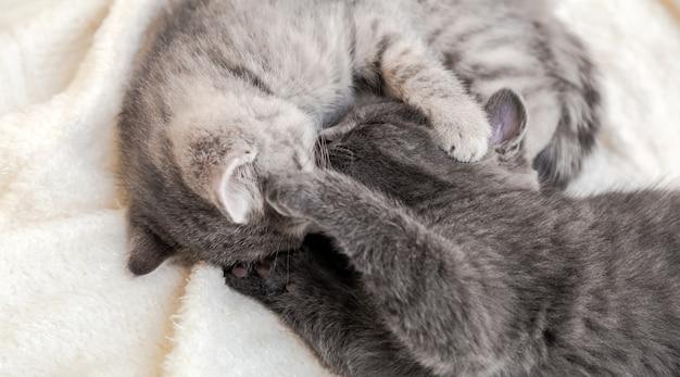 Два милых полосатых котенка целуются, спят на белом мягком одеяле в форме инь-янь. кошки отдыхают на кровати. черно-белые котята целуются. кошачья любовь и дружба в день святого валентина. длинный веб-баннер.