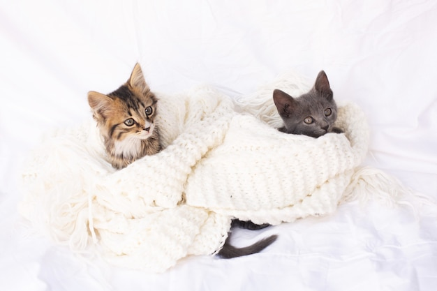 Two cute tabby kittens on white knitted scarf.