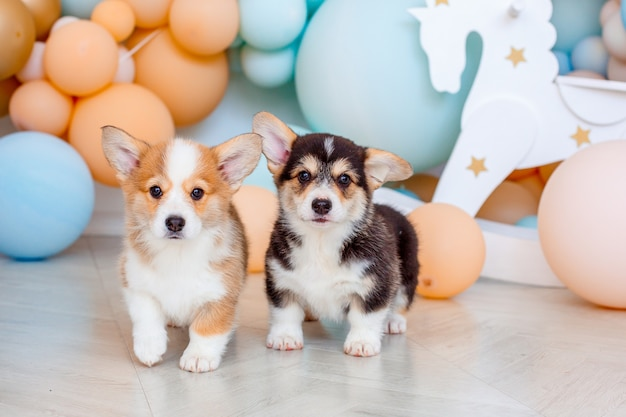 Two cute welsh corgi puppies photo with ballons