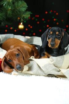 크리스마스 배경에 두 닥스훈트 강아지