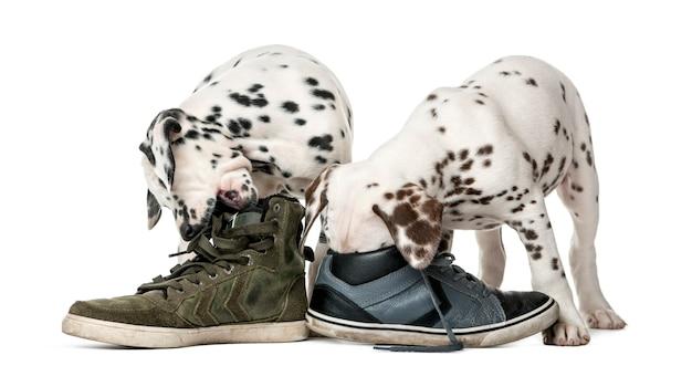 Два щенка далматина жуют обувь