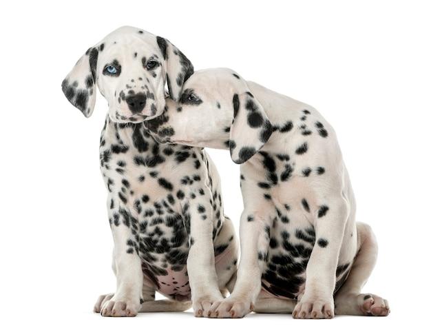 Два далматинских щенка обнимаются перед белой стеной