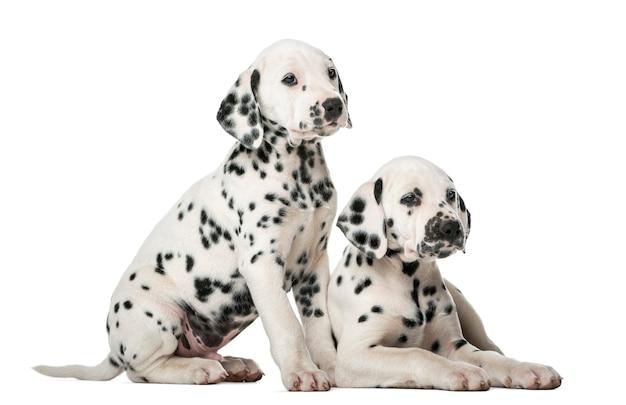 Два щенка далматина перед белой стеной