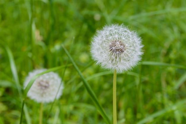 두 개의 민들레, 민들레 초원, 푸른 잔디에 흰 꽃. 흐릿한 배경, 매크로 클로즈업에 민들레 씨앗 머리.
