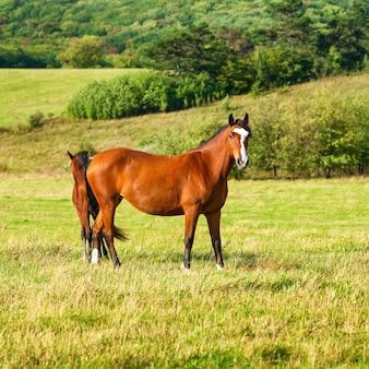 緑の草のある畑で放牧している2頭の暗い湾の馬