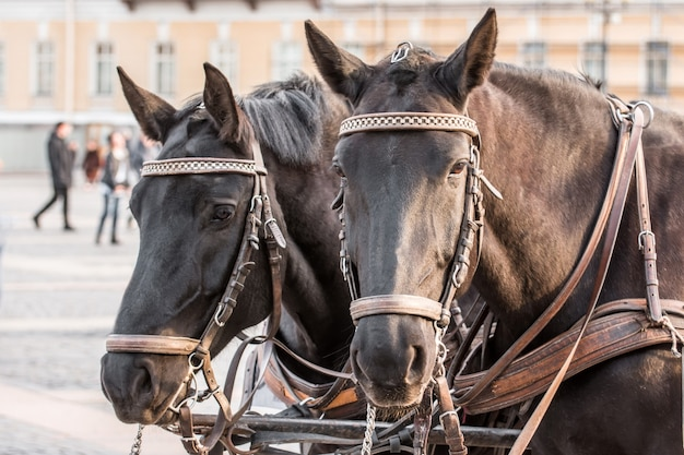 Two dark heads of a horse closeup in a harness