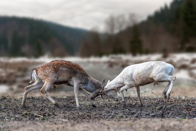 Два оленя борются с рогами за женское внимание