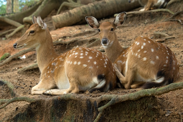 Two deer lying under a tree