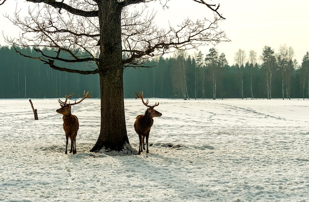 Two deer stand near a tree, in the forest. winter season. wildlife concept