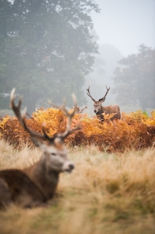 Two deer with beautiful horns in the foggy valley