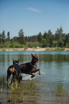 湖で遊ぶ2匹のドーベルマン犬