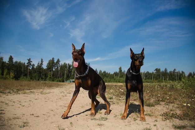 フィールドに座っている2匹のドーベルマン犬