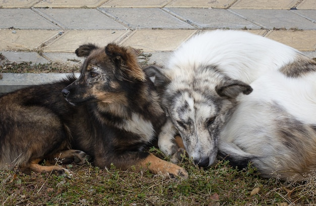 2匹の犬がセメントの床に横たわっている汚いホームレスの貧しい病気の犬