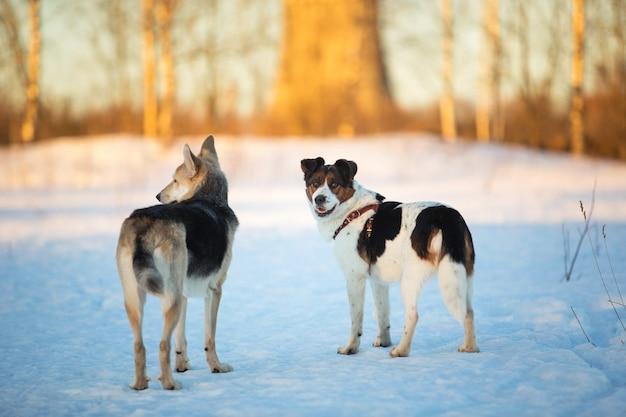 Две собаки на прогулке по снегу в зимнем поле