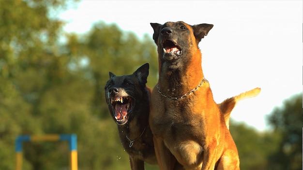 Две собаки лают на улице