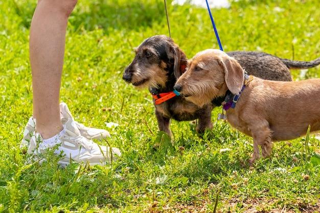 公園を歩いている間、2匹の犬が彼の愛人と髪のダックスフントの品種