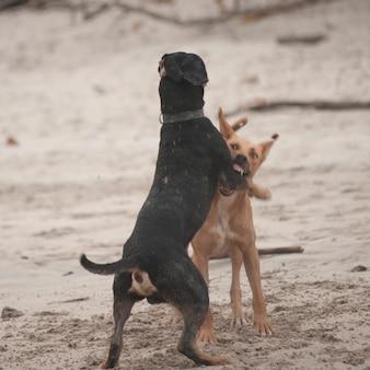 コスタリカのビーチで戦っている2匹の犬