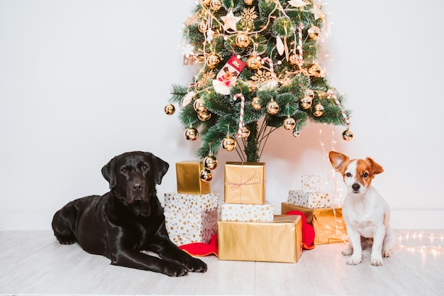Two dogs at home by the christmas tree, cute jack russell dog and black labrador. brothers