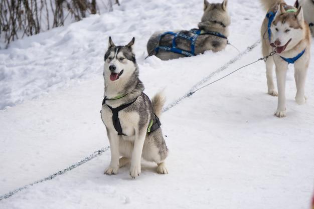 개썰매 달릴 준비가 된 눈 위에 서 있는 두 마리의 허스키