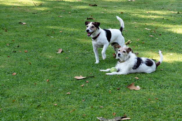 Two dogs of the jack russell terrier breed are on the lawn and are guarding the ball