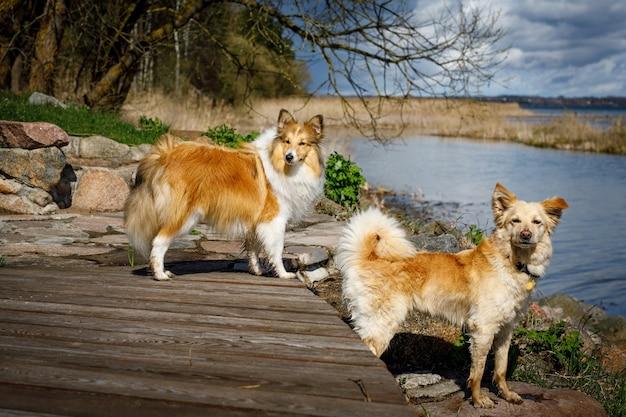 湖の近くに2匹の犬。