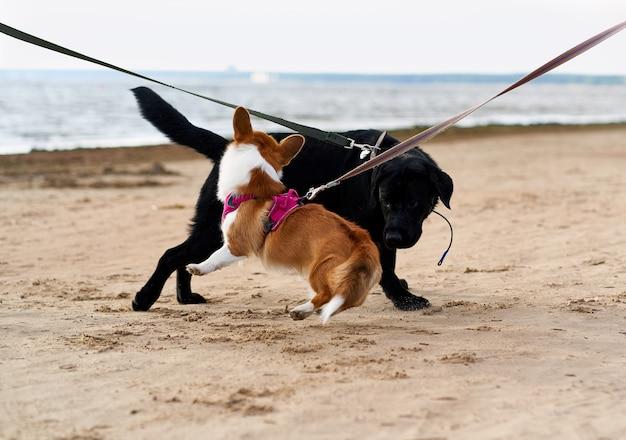 ひもにつないでいる2匹の犬が砂浜で出会い、遊んでいます