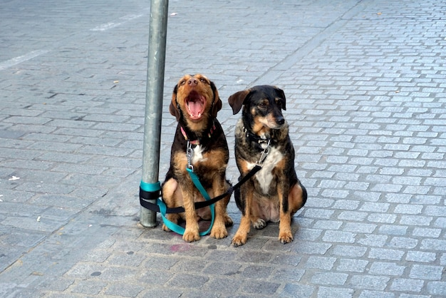 Two dogs patiently wait for their owner tied up in the street