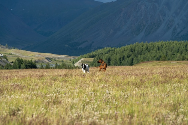 Two dogs play in a clearing surrounded by mountains. hunting dogs in mountain meadows